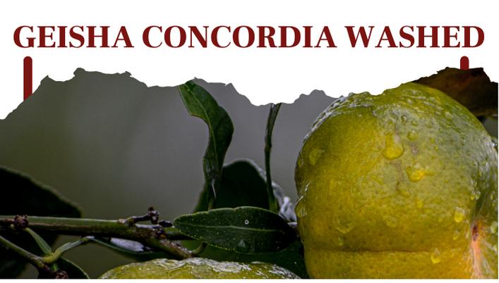 Geisha Concordia Washed